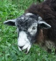 The Holistic Shepherd - Helder~Herdwyck Farm